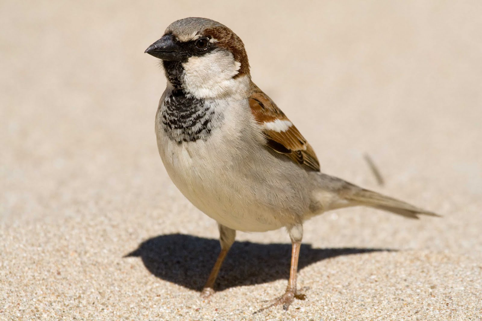 house sparrow Listen to the bird sounds and songs of the house sparrow on almanaccom.