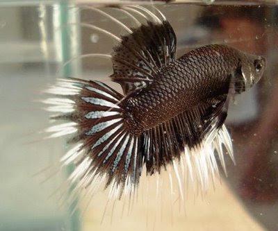 Foto gambar ikan hias air tawar, laut, cupang, koi, dll