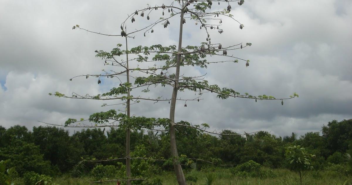 sabre2008 pokok kapas di kpg penibong