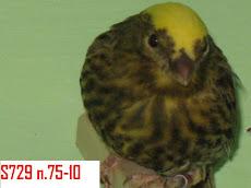 dorato cap-III classificato Bo-2010