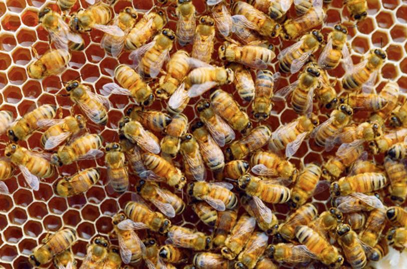 Arılar möhtəşəm inşaat mühəndisləri ile ilgili görsel sonucu