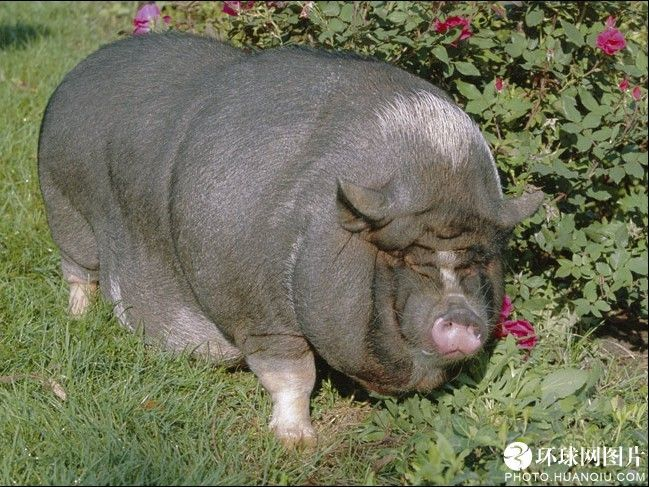 ten fattest animals Fattest Animal In The World