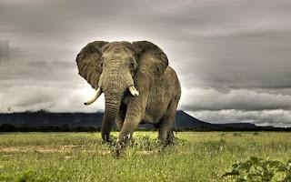 African Elephant Walking On Savanna Nature Jungle Animals HD Wallpaper