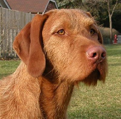 Cute Puppies Picture: Wirehaired Vizsla Puppy