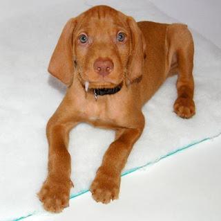 Wirehaired Vizsla Puppy