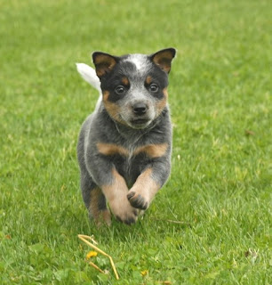 Australian Cattle Puppies Running