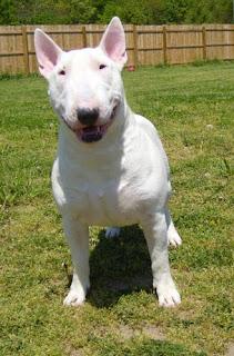 Bull Terrier Smile