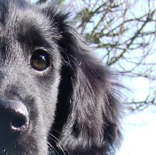 Flat Coated Retriever Face