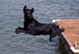 Flat Coated Retriever Dog Jump Picture