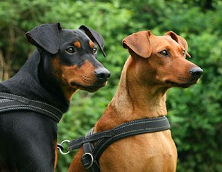 German Pinscher