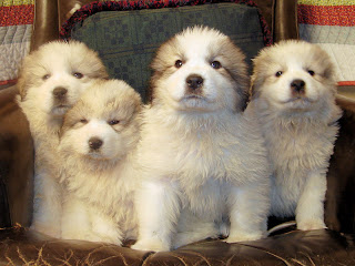 Great Pyrenees Puppies Pic