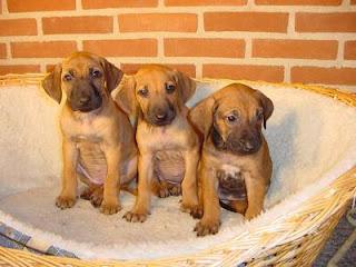 Rhodesian Ridgeback Cute Puppies