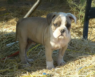 Alapha Blue Blood Bulldog puppies