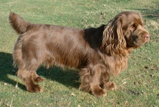 Sussex Spaniel Puppy Picture