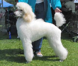 Poodle Hair Cut
