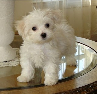 Maltese Cute Dog