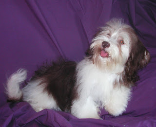 Havanese Cute Dog Picture