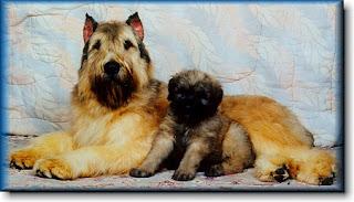 Bouvier des Flandres Cute Dog Picture