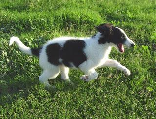 Borzoi Cute Dog Picture