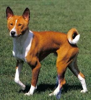 Basenji Cute Pet