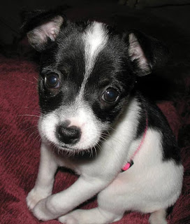 Toy Fox Terrier Puppiy Photo
