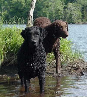 Curly Coated Retriever Sog Breed