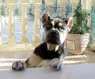 Alano Español Dog