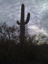 Sagauro Cactus