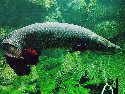 http://2.bp.blogspot.com/_GuLXAc2Kwcs/TTb74YklLZI/AAAAAAAAA7g/6YZ-bgFwSbg/s1600/arapaima-gigas-indonesian-fisheries.jpg