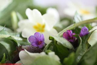 Salade primevère, pissenlit, pulmonaire, berce et lampsane