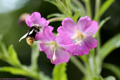 Epilobe à grandes fleurs, épilobe hirsute