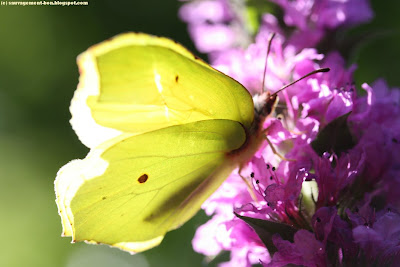 Papillon citron sur un épis de salicaire