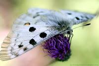 Apollon (papillon)