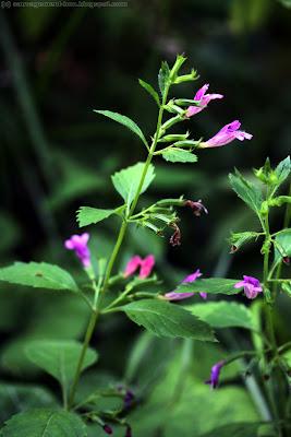 Calament à grandes fleurs, thé de l'Aubrac