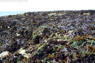 Beaucoup de fucus vésiculeux, et un peu de laitue de mer séchant sur les rochers