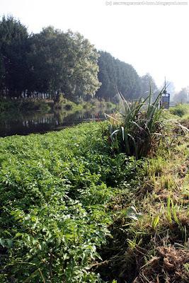 Au bord de l'eau, de véritables buissons de cresson des fontaines