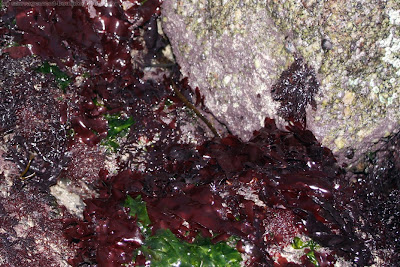 Dulse (palmaria palmata) et laitue de mer (ulva lactuca)