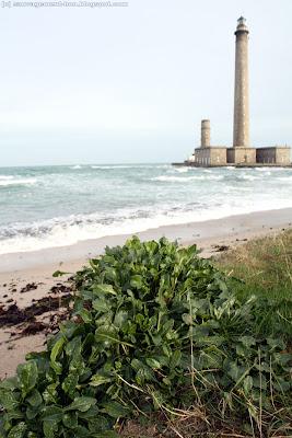 Bette maritime (betta vulgaris), à proximité du phare de Gatteville