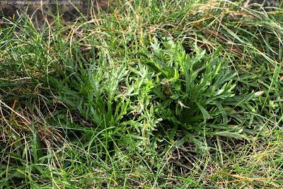 Plantain corne de cerf (plantago cornopus)