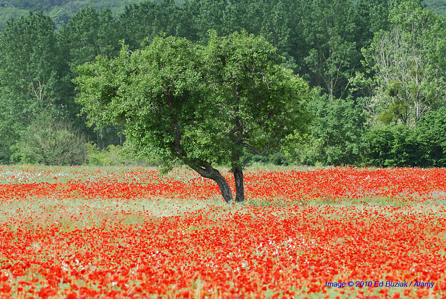 Poppy Field & Walnut tree,