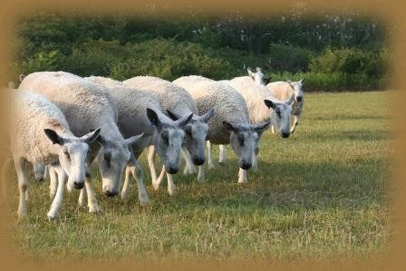 Beechtree Farm Ewes