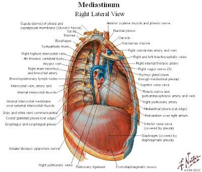 Tu Preparador de Anatomía: Sistema Venoso de la Ácigos - Anatomía ...