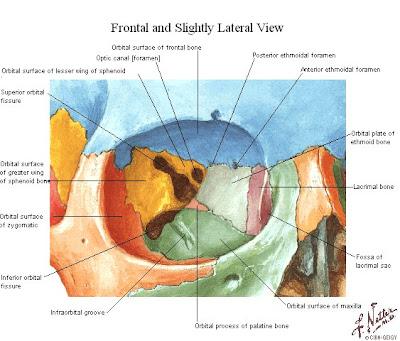 Tu Preparador de Anatomía: Fosa Orbitaria, Nasal y Pterigopalatina ...