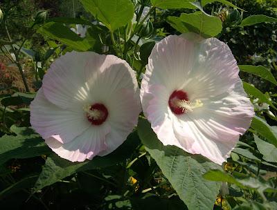 Paper Plate hibiscus