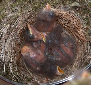 Eastern phoebe (Sayornis phoebe) hatchlings