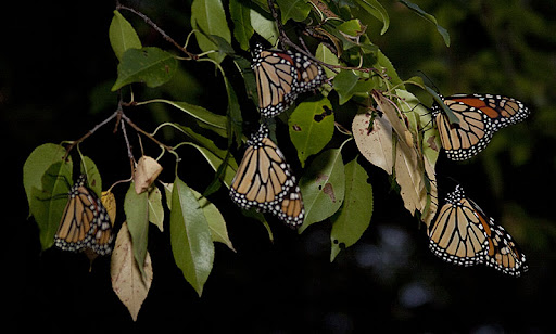 Monarch butterflies (Danaus plexippus) on bitternut hickory (Carya cordiformis)
