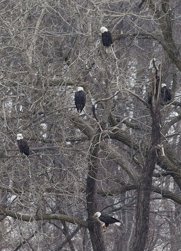 bald eagles (Haliaeetus leucocephalus) hangin' out below the lock and dam