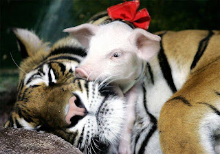 tiger and pigs 2