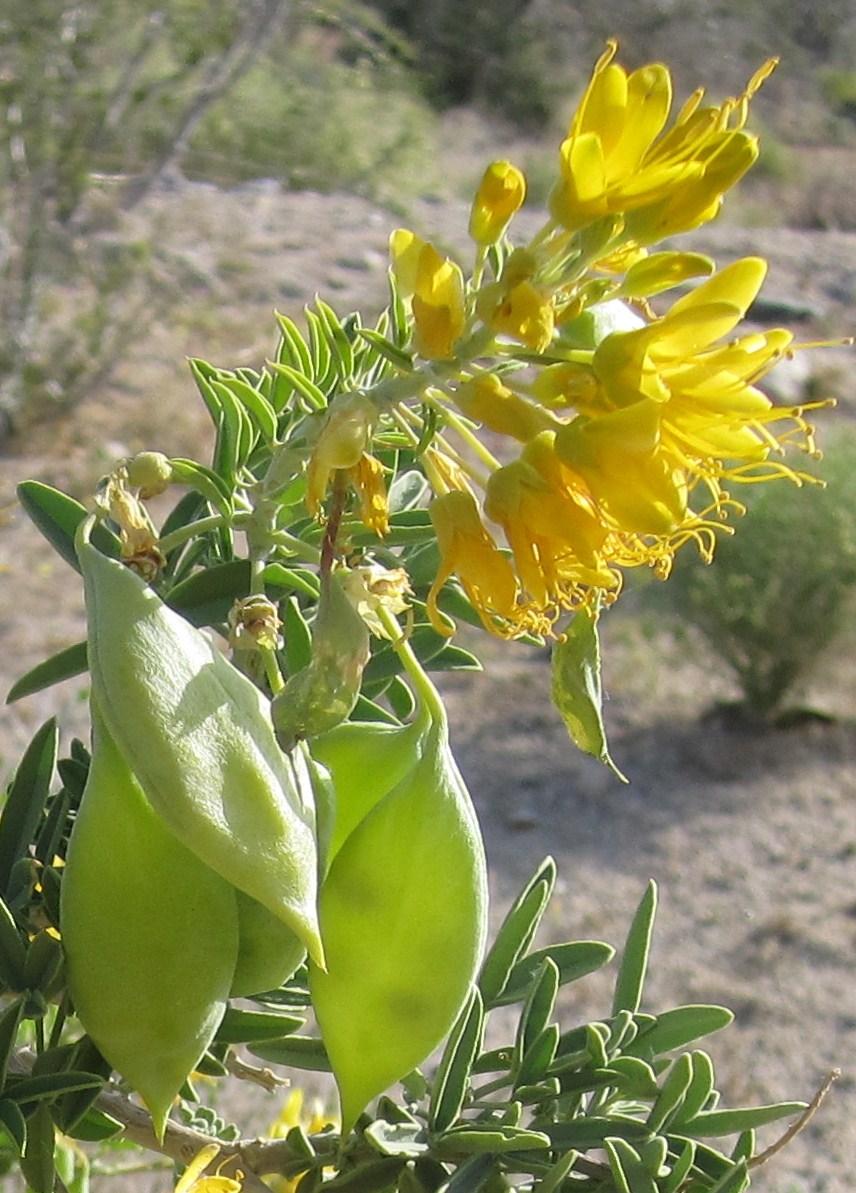 Cannundrums Bladderpod Spiderflower