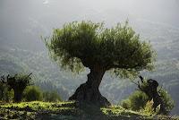 Olive+Trees+1.jpg (400×267)